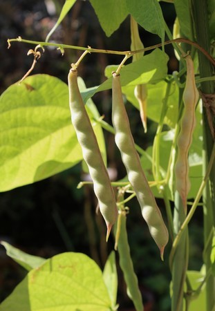 軒下で、完熟を待つ「徳ちゃん豆」。(30.11.15)