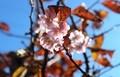 青空に映える、雨後の「十月桜」の花。(30.11.10)