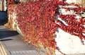 「ツタ(蔦)」の紅葉が見事…。(30.11.11)