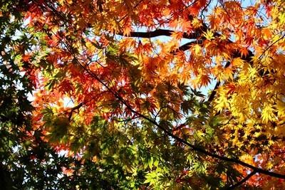 日差しが透けて、色とりどりの葉。(30.11.11)