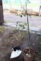 「招魂社」の境内に植える、苗2種。(30.11.13)