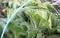 「ハクサイ(白菜)」が採り頃に。(30.11.13)