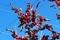 青空に、「ウメモドキ(梅擬)」の赤い実が映えて。(30.11.5)