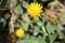 カレンヂュラ・「冬知らず」の花。(30.11.16)