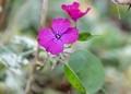 脇芽に咲いた、「ルナリア・合田草」の花。(30.11.)