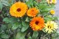 寒さに耐えて咲く、「キンセンカ(金盞花)」。(30.11.18)