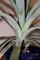 「パイナップル」芽挿し栽培。(30.11.19)