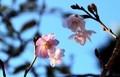 氷点下の冷え込みに耐えて咲く、「十月桜」の花。(30.11.21)