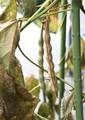 「つるささげ豆」も、葉が霜枯れて。(30.11)
