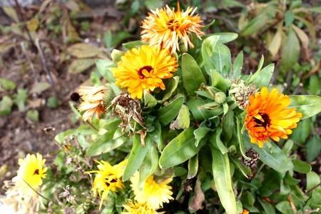 果実・種子が完熟の「キンセンカ(金盞花)」。(30.11.26)