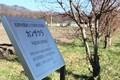 「農水省・長野牧場」わきに「寒桜」の並木。(30.11.27)