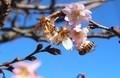 「寒桜」、名残の花にミツバチが…。(30.11.27)