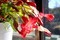 妻に栽培をお任せお「シャコバサボテン(蝦蛄葉仙人掌)」が開花。(30