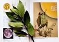「月桂樹」の葉と、「月の桂」…。(30.12.7)