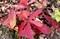 「コナラ(小楢)」、赤褐色に色づいた葉。(30.12.7)