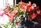 日差しに輝く「シャコバサボテン」の花。(30.12)