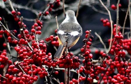 「紋付き鳥」の名、後ろ姿を見せて…。