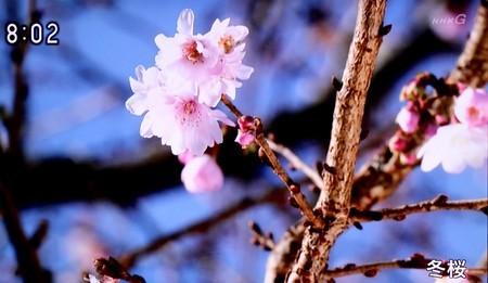 テレビ画像・鬼石(おにし)の冬桜(30.12.)