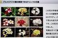 「プルメリア」の花、各種。(30.12)