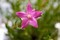 クリスマスを祝う、「サザンクロス(南十字星)」の花。(30.12.24)