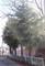 間もなく伐られるはずの、「ヒマラヤシーダー」並木。(30.12.24)