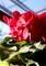 「篝火」の花を、下から見上げて…。(30.12.25)