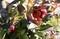 真冬の「タチカンツバキ(立寒椿)」の花。(31.1)