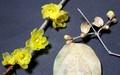 「臘・臘梅」の花、松井田で開花、佐久では蕾…。(31.1.6)