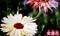 テレビ画像「カレンデュラ」・「金盞花」。(31.1.13)