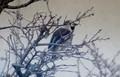 「枝の影に、久しぶりにシメ(鴲)が。(31.1.13)