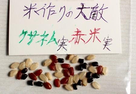 お米作りの大敵・「クサネム(草合歓)」と「赤米」か…。(31.1)