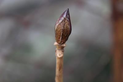「アジサイ」の葉痕。(31.1.14)