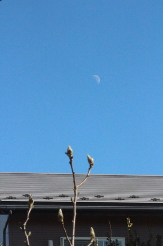 東の空に昇った「臘月九日・上弦」のお月さま。手前は、「木蓮」の冬