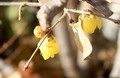 「臘月」に咲き始めた「ロウバイ(臘梅・臘梅)」の花。(31.1.16)