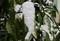 「アオキ(青木)」の葉に、淡雪の「綿帽子」。