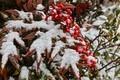 「ナンテン(南天)」の葉も、ふんわり小雪を被り…。(31.1.22)