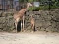 金沢動物園 アミメキリン親子