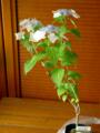 2012-06-29 神戸森林植物園で買った山アジサイ・¥430-