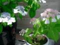 ←¥430のヤマアジサイから挿し木して今年咲いたのがピンクの花