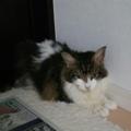 迷い猫メイちゃん20150910🐾ネコサーチに掲載中🔍