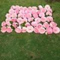 バラ(ピエールドゥロンサール)花がら50個20160515