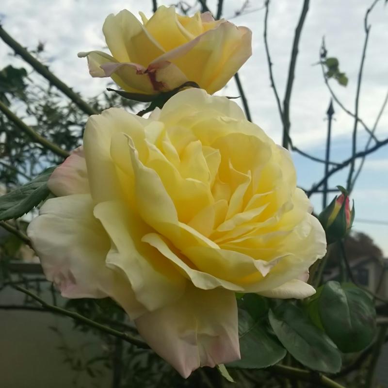 バラ(つるピース)20171101