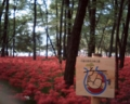 [photo]Cluster amaryllis blossom out around Kinchaku-da.