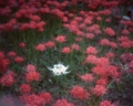 [photo]One white cluster amaryllis surrounded by red ones.
