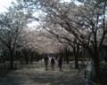 [photo]Cherry blossoms at Ryonan Park on 2010/04/11.