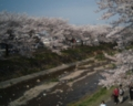 [photo]Cherry blossoms at Minami Asa Kawa bridge on 2010/04/11.