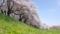 第15回京都新聞写真コンテスト 八幡背割堤の桜