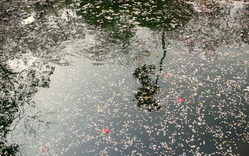 第15回京都新聞写真コンテスト 散り花の妙