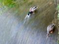 京都新聞写真コンテスト 放水路で川藻を食す鴨