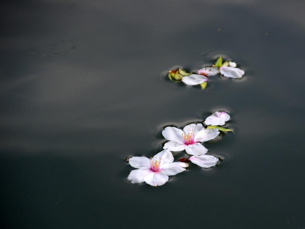 京都新聞写真コンテスト 水面に咲く散り桜②